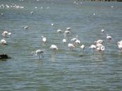Groepje flamingo's