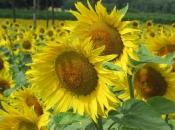 Zonnebloemen onderweg