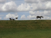 Paard met koeien op de dijk